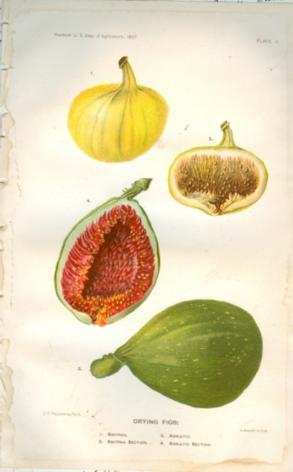 Anatomy of a fig