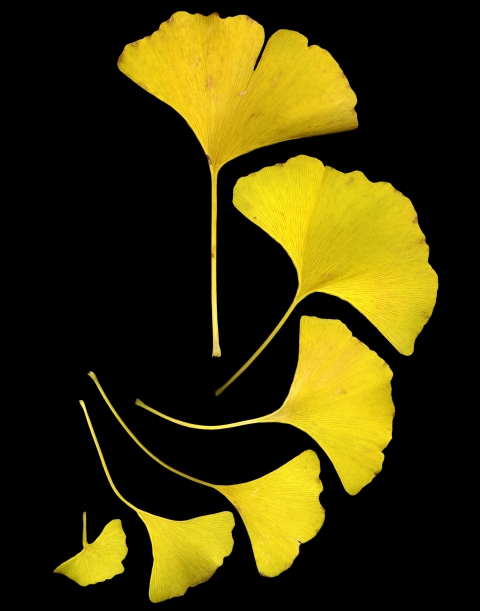 Ginkgo biloba yellow