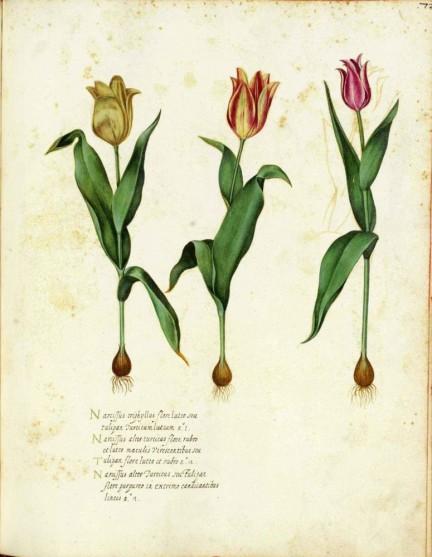 Tulipmania.