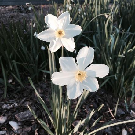 yellow daffodil 3